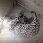 Hình ảnh báo mẹ đang cho hai cá thể báo con bú sữa tại Công viên Quốc gia Sochi