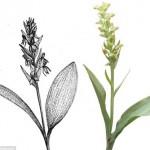 Loài hoa lan quý hiếm đã được tìm thấy ở quần đảo Arozes ở Bồ Đào Nha.