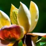 Trên thế giới còn chưa đầy 50 cây Ngọc lan Magnolia grandis