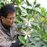 Những bông hoa hiếm hoi của cây manglietiastrum trong vườn bách thảo Côn Minh, tỉnh Vân Nam, Trung Quốc.