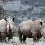 Hai cá thể tê giác trắng phương Bắc ở Kenya.